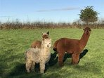 The Alpaca family at Dolittles.