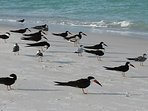 Black Skimmers on our beach