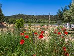 Wild flowers like these poppies appear in spring in hundreds