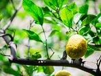 Giardino - Limone di Sorrento