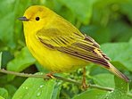 A Yellow Warbler visiting the cottage.