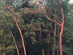 Arbutus trees glowing at sunset