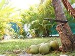 Les noix de coco à volonté.