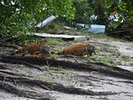 Iguana's taking a stroll on our property.