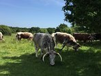 Long horn cattle roaming freely in Epping Forest