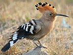 This colourful character,the Hoopoe ,is a regular visitor to your meadow at Casa Lerryn