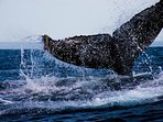 Humpback whale season starts in June through to the month of October.  These sightings  are common.