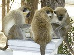 Unexpected visitors: Bajan green monkeys