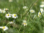 The daisies push through the ryegrass - which in time we hope will give way
