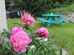 Peonies in the garden