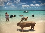 see the famous swimming pigs