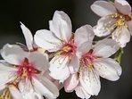 Amandelbloesem in het vroege voorjaar (februari/maart)