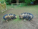 We have Kunikuni pigs, these are our girls and they are called Salt & Pepper.