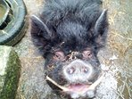 This is Taylor our boar, he is always happy and loves to have a chat!
