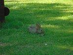 Wild rabbits running around the garden.