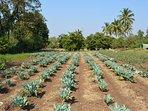 Organic farming of leafy vegetables