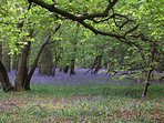 A carpet of bluebells in Sulehay Woods, stunning in late April and early May.