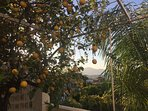 Lemon tree and view beyond