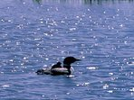We're lucky to have loons nesting in the channels and watching the chicks grow and learn how to swim