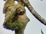 Rainforest tour three-toed sloth in their natural habitad