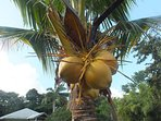Enjoy fresh Coconut from our trees