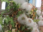 Clematis seed heads, in the garden at Onespringbank