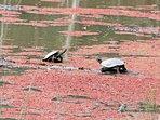 Macquarie Turtles