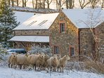 Sheep in front of Beckside Barns in the snow