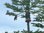 Fruit trees on property. Papayas.