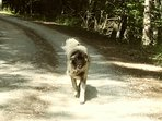 Sunny age 3 our 3/4 Anatolian Shepherd 1/4 Great Pyrenees. Loves taking guests on walks in the woods