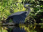An honoured guest: the Great Blue Heron loves our private cove!