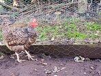 kiki the hen!