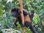 Howler monkeys from terrace