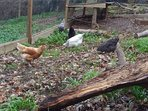 Our free range chickens: Hetty; Henrietta; Mable; Millie and Bluebell.