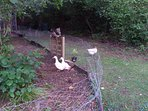 Betsy and Gemima, our two Aylesbury ducks will be happy to chat with you!