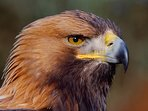 Golden Eagles can be seen from the North Harris Eagle Observatory which is a 25min drive from.