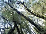 Stands of ancient podacarp forest are still thriving in many Conservation Parks in Southland.