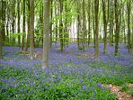 Bluebells in our wood