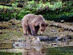 Prince Rupert is a gateway to Canada's first grizzly sanctuary and Haida Gwaii.  Excellent wildlife