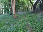 Our spaniel in our private woods