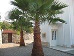 Fan Palms at rear of villa.