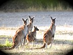 View native kangaroos on the property- especially at sunrise and sunset