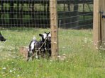 Our lovely pygmy goats Willow and Bailey you are very welcome to go I and pet them.