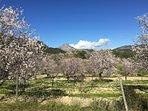 Mallorca in Spring, almond blossom time