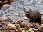 Otter in the Mingarry Burn (photo taken from Woodside).