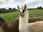 Friendly pet llamas