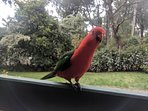 Another cheeky King Parrot wanting more seed.