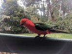 Seed is provided to feed the King Parrots who visit the outside deck regularly.
