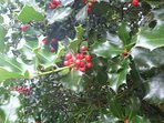 Bright red holly berries in late November