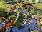 The Carp pond at Oasis de Capistrano